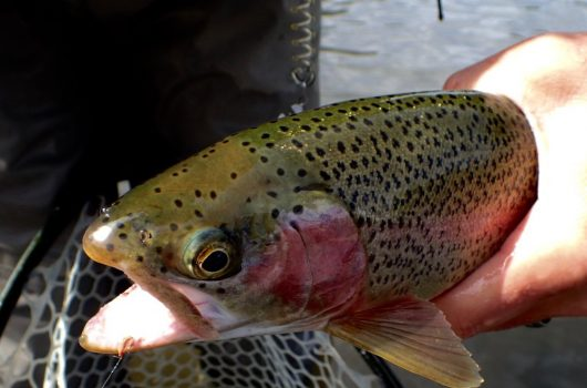 Provo River Fly Fishing Report